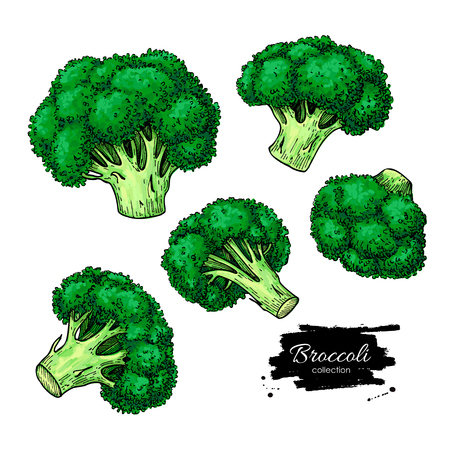Broccoli hand drawn vector set. Vegetable drawing. Isolated Broccoli illustration. Detailed vegetarian food artistic sketch. Farm market product.