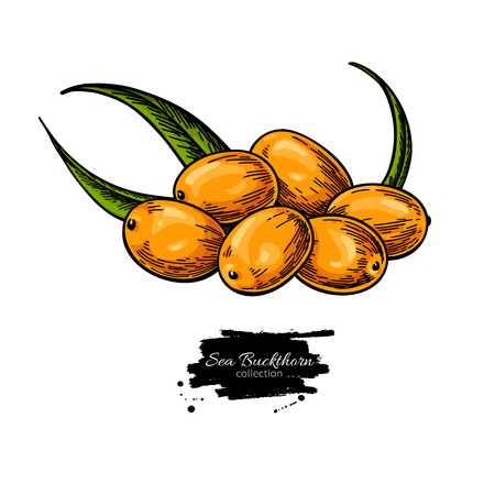 Sea buckthorn vector isolated berry branch on white background. Illustration