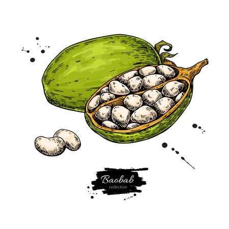 Baobab vector superfood drawing. Organic healthy food sketch with beans. Great for banner, poster, label, packaging. Isolated hand drawn illustration on white background