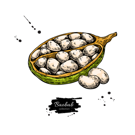 Baobab vector superfood drawing. Organic healthy food sketch wit