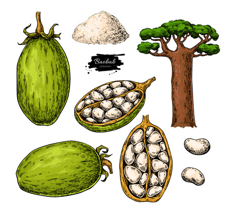 Baobab vector super food drawing.