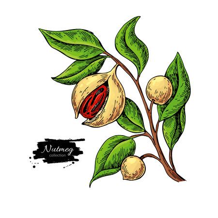 Zeichnung des Zweiges der Muskatnusspflanze.
