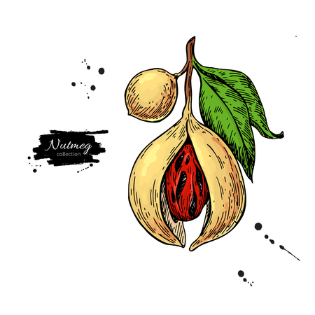 Nutmeg plant branch drawing. 写真素材 - 113135104