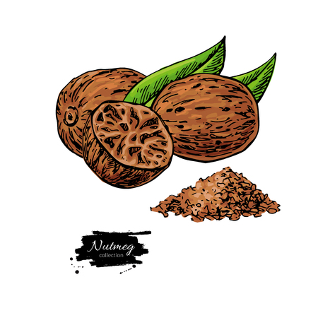 Nutmeg spice. Ground seasoning nut sketch. Ilustrace