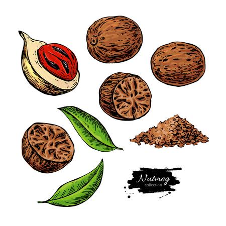 Muskatgewürz-Vektorzeichnung. Grundgewürznuss-Skizze. Getrocknete Samen und frische Keulenfrüchte