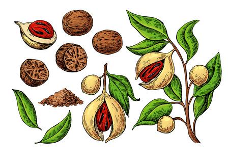 Muskatgewürz-Vektorzeichnung. Grundgewürznuss-Skizze. Getrocknete Samen und frische Keulenfrüchte Vektorgrafik