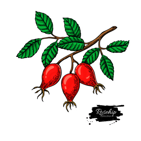 Rosehip vector drawing. Isolated berry branch sketch on white