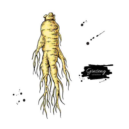 Ginseng root vector drawing. Medical plant sketch. Botanical object. Alternative medicine, beauty, cosmetic and herbal therapy ingredient.