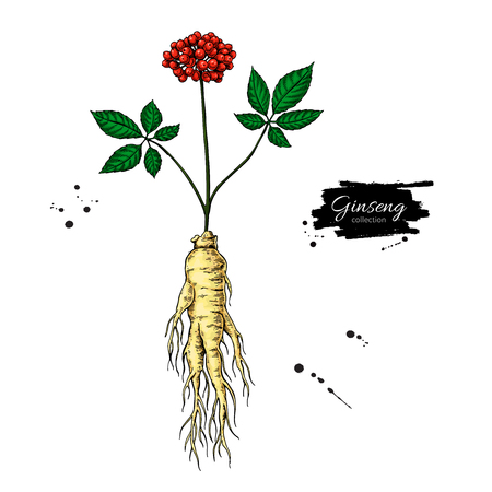 Ginseng root and berry vector drawing. Medical plant sketch. Botanical object. Ilustracja