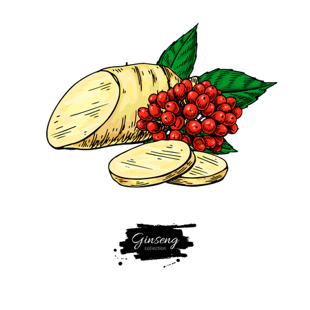 Ginseng root slice and berry. Vector drawing. Medical plant sketch. Botanical object. Hand drawn illustration. Alternative medicine, beauty, cosmetic and herbal therapy ingredient. Ilustracja