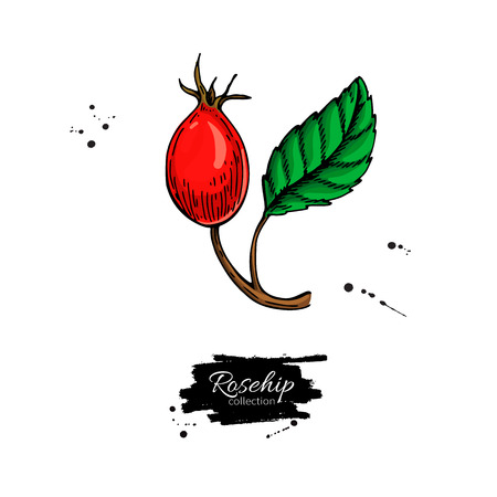 Rosehip vector drawing. Isolated berry branch sketch on white background.