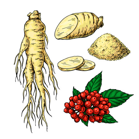 Ginseng vector drawing. Medical plant sketch. Botanical object. Hand drawn root, berry, slice and powder. Alternative medicine, beauty, cosmetic and herbal therapy ingredient.