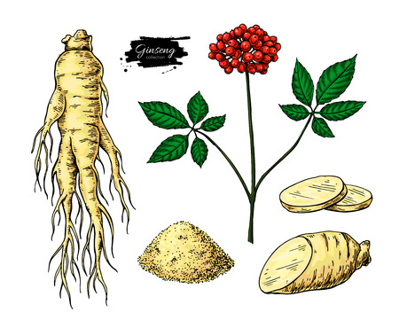 Ginseng vector drawing. Medical plant sketch. Botanical object. Hand drawn root, berry, slice and powder. Alternative medicine, beauty, cosmetic and herbal therapy ingredient. Ilustração