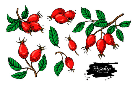 Rosehip  drawing set Isolated berry branch sketch on white