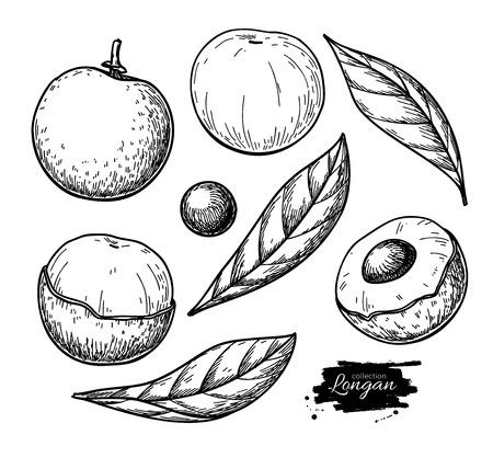 Longan vector drawing. Hand drawn tropical fruit illustration. Engraved summer fruit. Whole and sliced objects with leaves. Botanical vintage sketch for label, juice packaging design, menu Ilustração