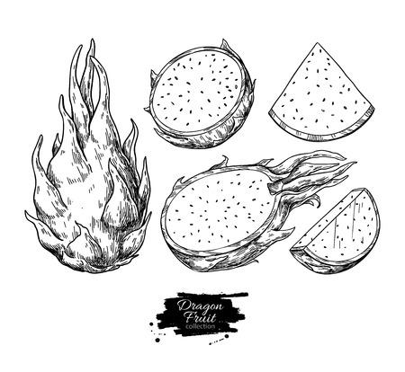 Dragon fruit vector drawing. Hand drawn tropical food illustration. Engraved summer dragonfruit. Whole and sliced pitaya. Botanical vintage sketch for label, juice packaging design