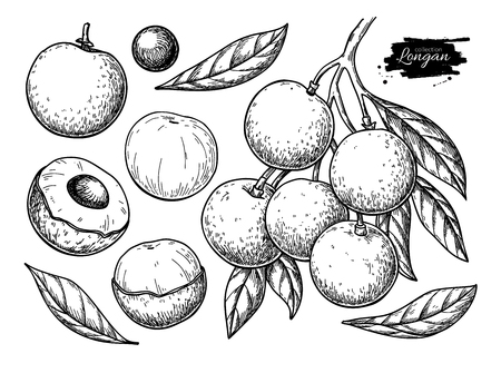 Longan vector drawing set. Hand drawn tropical fruit illustration. Engraved summer fruit. Branch, whole and sliced objects with leaves. Botanical vintage sketch for label, juice packaging design, menu