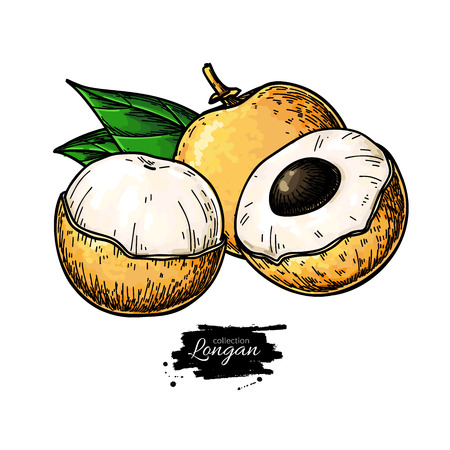 Longan  drawing. Illustration