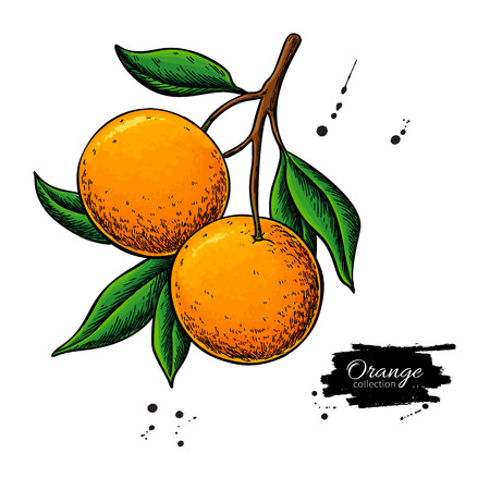 Orange branch vector drawing. Summer fruit color illustration. Isolated hand drawn whole orange and leaves. Botanical sketch of citrus. Tropical food. Great for label, poster, print, juice packaging