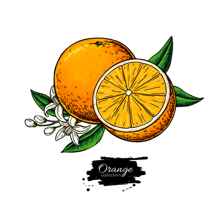 Orange vector drawing. Summer fruit illustration. Isolated hand drawn orange slice and flower bloom. Botanical sketch of citrus. Vintage tropical food. Great for label, poster, print, juice packaging Ilustracja