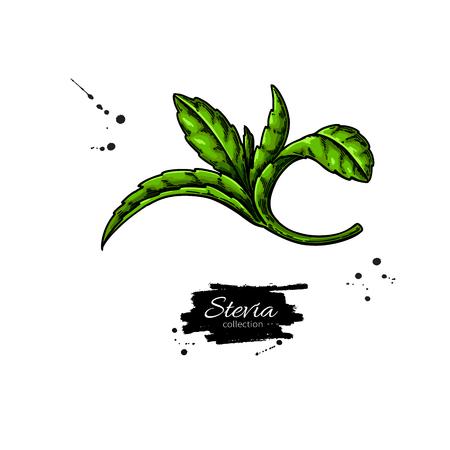Stevia   drawing.
