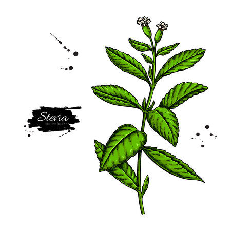 Stevia flower  drawing. Иллюстрация
