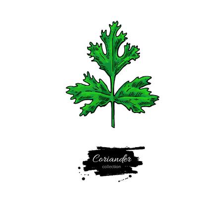 Korianderpflanze handgezeichnet Vektorgrafik