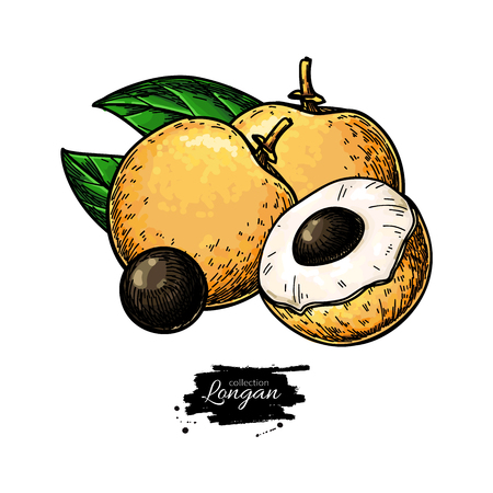Longan vector drawing. Hand drawn tropical fruit illustration. Colorful summer fruit. Whole and sliced objects with leaves. Botanical vintage sketch for label, juice packaging design, menu Illustration