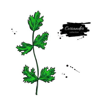 Coriander plant vector hand drawn illustration. Isolated spice object.