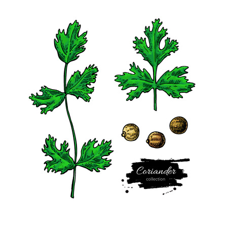 Coriander  hand drawn  set. Isolated spice object. Colorful seasoning.