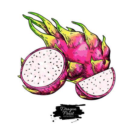 Dragon fruit vector drawing. Hand drawn tropical food illustration. Pink summer dragonfruit. Whole and sliced pitaya. Botanical vintage sketch for label, juice packaging design Illustration