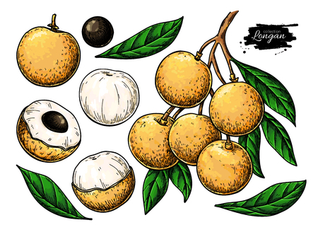 Longan vector drawing set. Hand drawn tropical fruit illustration. Artistic summer fruit. Branch, whole and sliced objects with leaves. Botanical vintage sketch for label, juice packaging design, menu