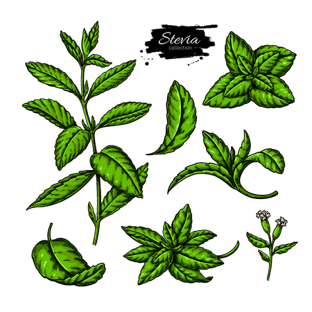 Stevia   drawing. Herbal sketch of sweetener sugar substitute