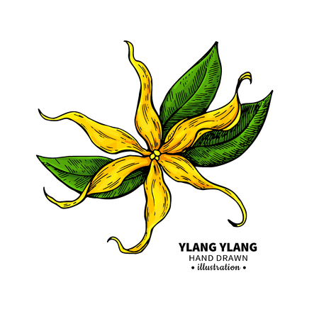 Ylang ylang vector drawing.