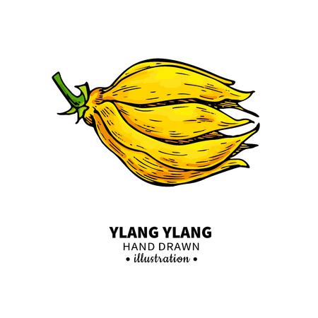Dibujo de ylang ylang. Ilustración de vector