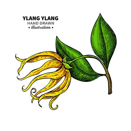 Dibujo vectorial de ylang ylang. Ilustración vintage aislada de flor médica.