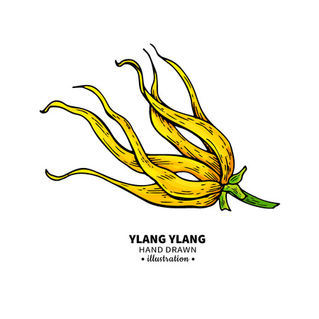Ylang ylang vector drawing. Isolated vintage illustration of medical flower.