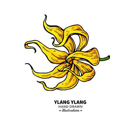 Dibujo vectorial de ylang ylang. Ilustración vintage aislada de flor médica. Ilustración de vector