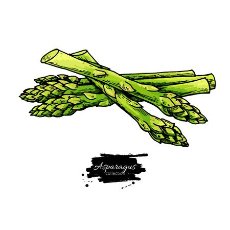 Asparagus hand drawn vector illustration. Isolated Vegetable colorful object. Detailed vegetarian food drawing. Farm market product. Great for menu, label, icon
