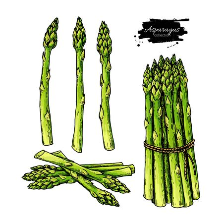 Asparagus hand drawn vector illustration set. Isolated Vegetable colorful object. Detailed vegetarian food drawing. Farm market product. Great for menu, label, icon Ilustracje wektorowe