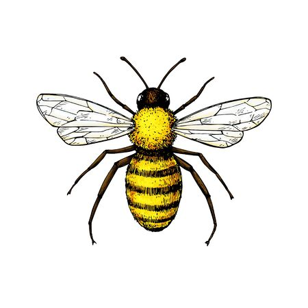Honey bee vintage vector drawing.