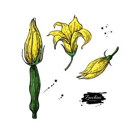 Zucchini flower hand drawn  set. Ilustracja