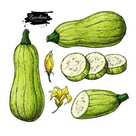 Zucchini hand drawn vector illustration set. Isolated Vegetable objects with sliced pieces and flower. Detailed vegetarian food drawing. Farm market product. Great for menu, label, icon 일러스트
