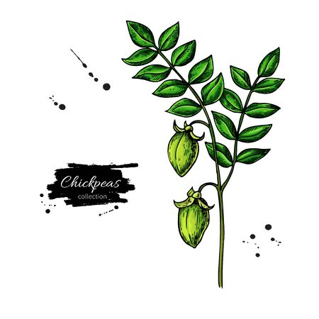 Chickpeas plant hand drawn vector illustration. Isolated Vegetable object. Detailed vegetarian food drawing. Farm market product. Great for menu, label, icon