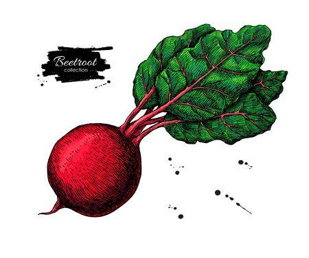 ビートルート手描きのベクトルイラスト。野菜の描画。