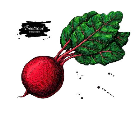 Beetroot hand drawn vector illustration. Vegetable drawing.