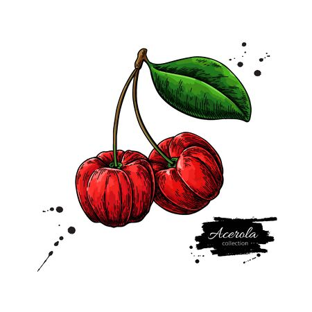 Acerola fruit vector drawing. Barbados cherry sketch. Vintage illustration of superfood. Stock Vector - 135295390
