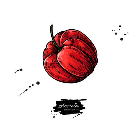 Acerola fruit vector drawing. Barbados cherry sketch. Illustration