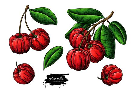 Acerola fruit vector drawing set. Barbados cherry sketch.