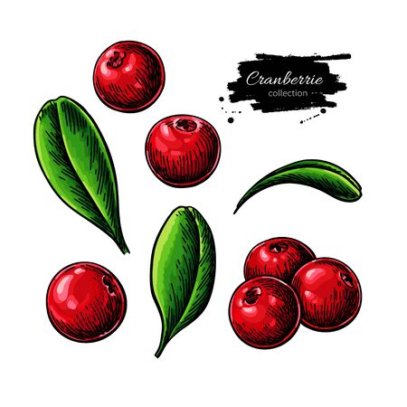 Cranberry vector drawing. Isolated berry branch sketch on white background.